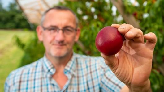 Nein, das ist kein Apfel: Obstbauer Peter Stechmann aus Buxtehude hält eine Nektarine in der Hand.