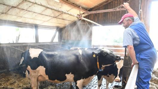 Bei dem Wetter freuen sich die Kühe über jede Abkühlung.