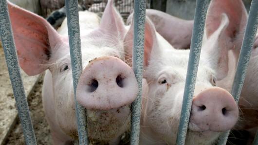 Heißes Wetter lässt die Futterpreise für Schweine in die Höhe schnellen. (Symbolbild)