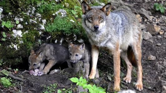Lies ist dafür Wolfe in bestimmten Situationen zum Abschuss freizugeben (Symbolbild).