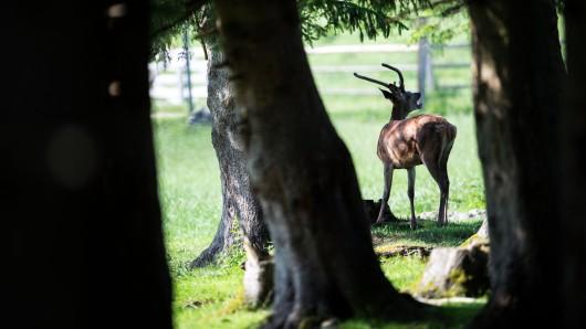 Bislang ist nur eines von vermutlich drei bis vier entlaufenen Tieren wieder zurück im Wildgehege Riddagshausen (Symbolbild).