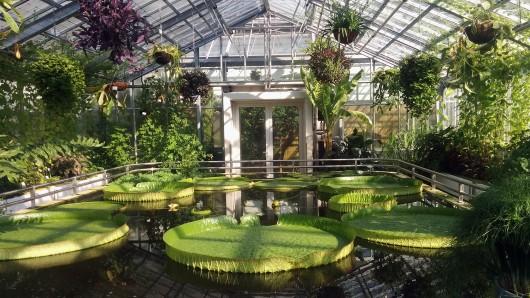 Die Blätter der Riesen-Seerose können ein Gewicht bis zu 35 Kilogramm tragen.