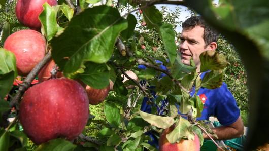 Klein, rund und sehr süß: Die Äpfel in diesem Jahr haben eine gute Qualität. (Symbolbild)
