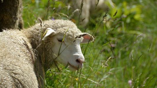 Die Tiere hatten in Papenburg Passanten attackiert.  (Symbolbild)