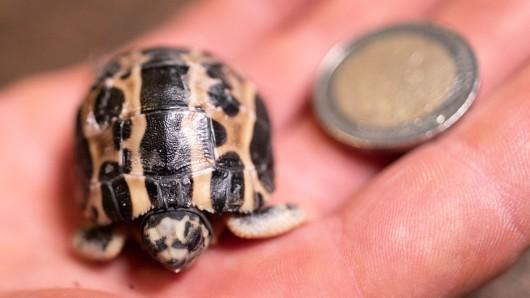 Nicht größer als eine Münze: Im Zoo Hannover sind Spinnenschildkröten geschlüpft.