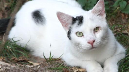 Neun Monate jung ist Kater Barney, für den das Tierschutzzentrum Ribbesbüttel nun ein neues Zuhause sucht.