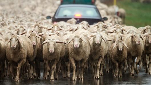 Rund 200 Schafe haben am Freitag den Verkehr auf der A7 zum Erliegen gebracht (Symbolbild).