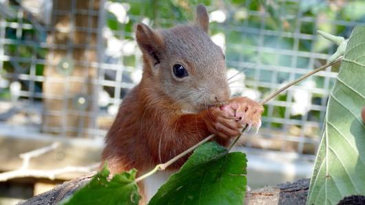 Das Eichhörnchen Pippilotta, aufgenommen in der Wildtierauffangstation Karlsruhe. Pippilotta machte Schlagzeilen, weil sie sich am 9. August frühmorgens so hartnäckig an die Fersen eines Mannes geheftet hatte, dass der die Polizei alarmierte. Nun soll sie wieder ausgewildert werden