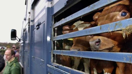 Warum die Kuh aus dem Hänger auf die Autobahn stürzen konnte, muss die Polizei nun ermitteln (Archivfoto).