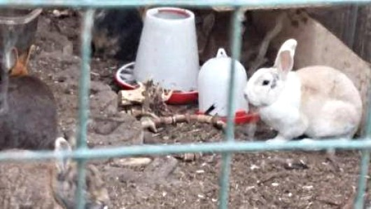 Sich selbst überlassen haben die Besitzer ihre Tiere nach ihrem Wegzug; die Tierschützer aus Ribbesbüttel konnten noch sieben Kaninchen und vier Tauben retten - für die anderen Tiere kam jede Hilfe zu spät.