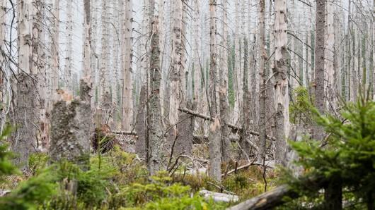Oderbrück: Blick in einen von Borkenkäfern befallenen Nadelwald zwischen Torfhaus und Braunlage im Nationalpark Harz. Wenn der Borkenkäfer Fichtenwälder zerstört, sieht das auf den ersten Blick nicht gut aus. Für die Artenvielfalt ist es aber von Vorteil.