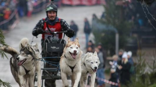 Ein Musher geht mit seinen 4 Siberian Huskys in Hasselfelde zum 19. Internationalen Schlittenhunderennen in der Westernstadt Pullman City im Harz an den Start.