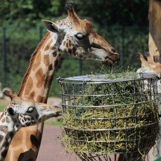 Trauer bei den Giraffen im Magdeburger Zoo. (Archivbild)