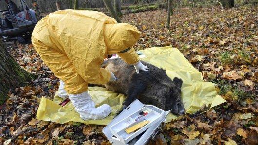 Die Afrikanische Schweinepest ist in Polen auf dem Vormarsch. Sollte die Seuche nach Deutschland kommen, wäre das Ausmaß katastrophal. (Archivbild)