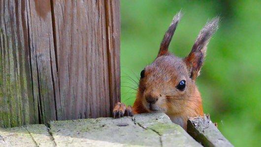 Ein Eichhörnchen in Niedersachsen steckte in einer denkbar misslichen Lage. (Symbolbild)