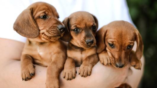 Welpen sind unfassbar süß. Eine Tierarztpraxis aus Niedersachsen warnt jetzt davor, die Vierbeiner zu FRÜH zu kaufen. (Symbolfoto)