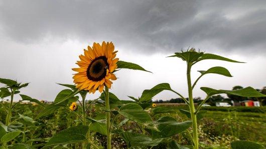 Der August ist das – kommt jetzt der Hochsommer? Das Wetter in Niedersachsen sieht leider nicht danach aus. (Symbolbild)