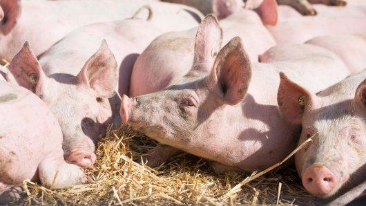 In einem verlassenen Stall sind 250 tote Schweine entdeckt worden. (Symbolfoto)