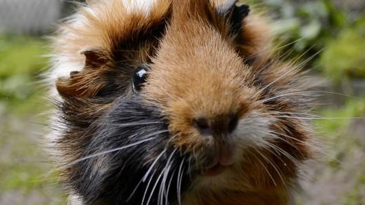 Meerschweinchen wurden aus dem Kaisergarten in Oberhausen gestohlen.