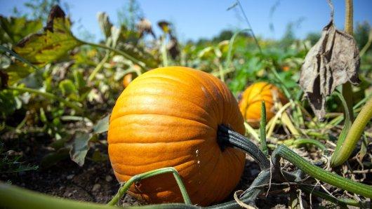 Kürbisse können giftige Bitterstoffe enthalten, die der Pflanze zum Schutz dienen.