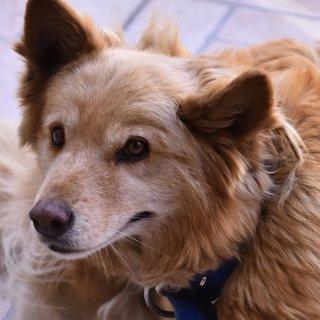 Ein brauner Labrador. (Symbolfoto)