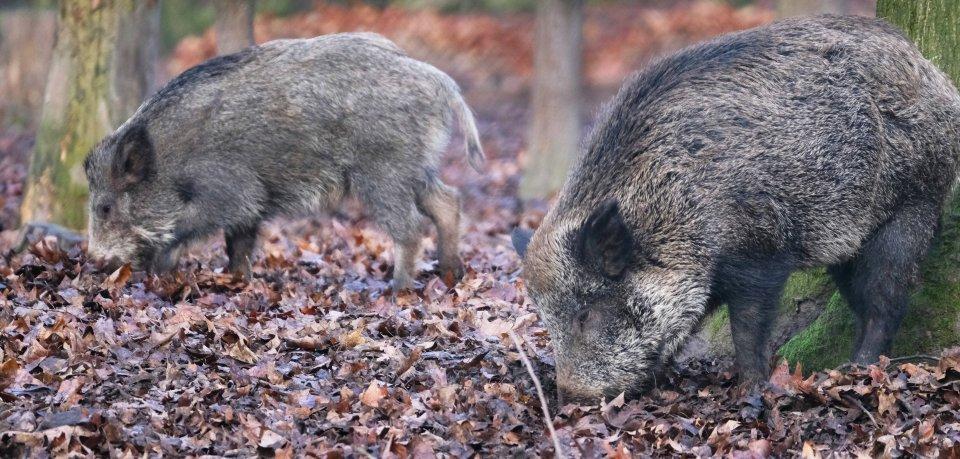 Ein Mann aus Peine hat drei Wildschweine auf dem Gewissen. (Symbolbild)