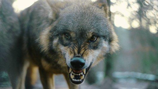 Am Samstag wurde im Kreis Peine ein totes Kalb gefunden. Treibt ein Wolf in der Gegend sein Unwesen? (Symbolbild)