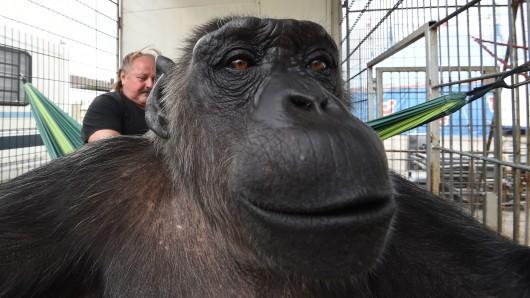Klaus Köhler, Direktor des Zirkus Belly, liegt in einer Hängematte, während Schimpanse Robby in die Kamera schaut. Seit mehr als 40 Jahren lebt das Tier im Zirkus.