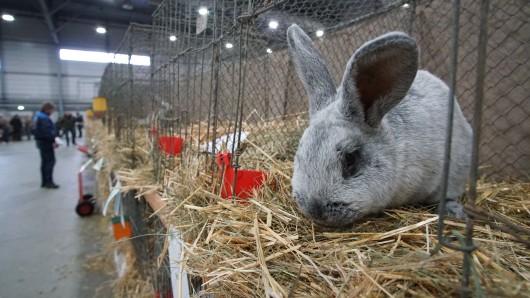 Ein Rasse-Kaninchen der Rasse Helle Großsilber sitzt in einem Ausstellungskäfig in Halle. Ein paar Meter weiter gab es eine Schlägerei.