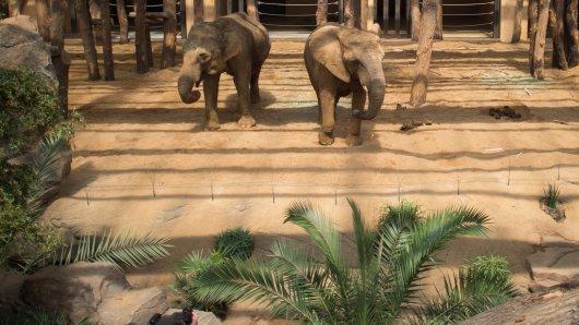 Die afrikanische Elefantendame Mwana (rechts) aus dem Zoo in Magdeburg hat einen Teil ihres Rüssels verloren. (Archivbild)