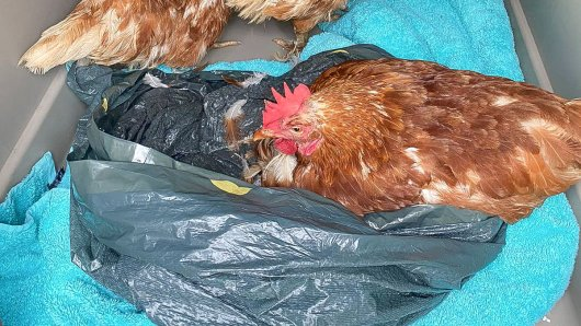 Unbekannte haben drei Hühner einfach in einem Müllbeutel weggeschmissen.