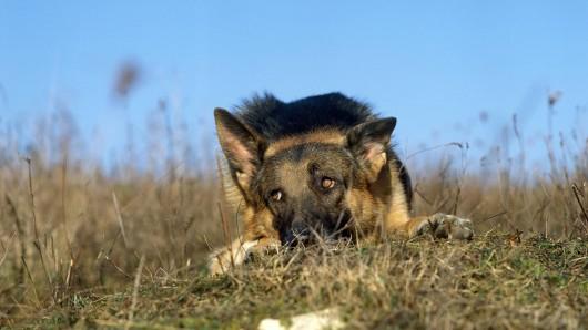 Schrecklich! Weil ein Schäferhund so heftige Schmerzen hatte, biss er sich selbst seine eigene Pfote ab. (Symbolbild)