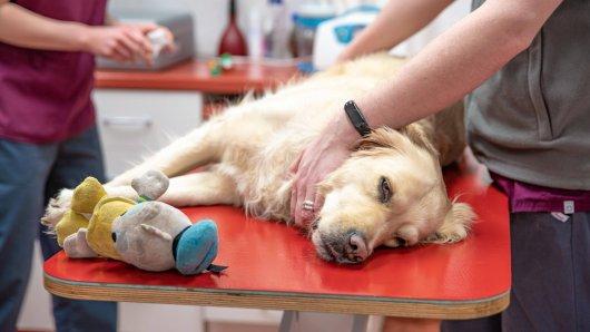 Hund Bella sollte sterilisiert werden, Corona machte einen Strich durch die Rechnung. (Symbolbild)