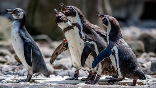 Zoo in Holland: Schwule Pinguine besuchen lesbisches Paar. (Symbolbild)