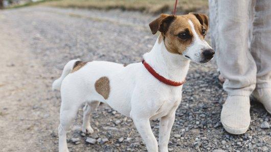 Hund: Unglaublich! Kurz nach einem Spaziergang mit seiner Halterin bricht ein Vierbeiner in Schottland tot zusammen. (Symbolbild)