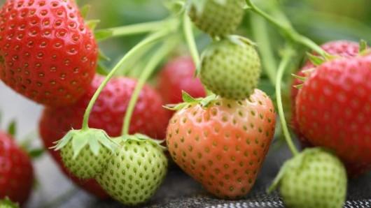 Die Erdbeerzeit war nicht so ertragreich, wie erhofft.
