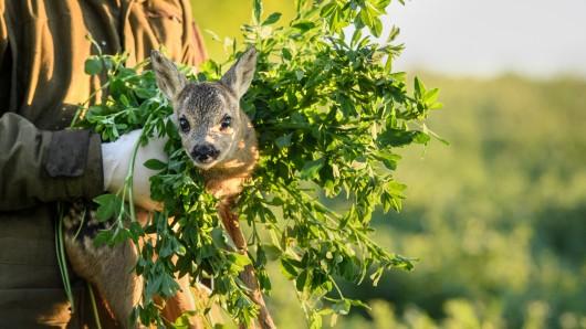 Dieses Rehkitz hatte Glück. Ein Jäger hatte es entdeckt und aus dem Feld getragen bevor die Mähdrescher anrücken. (Archivbild)