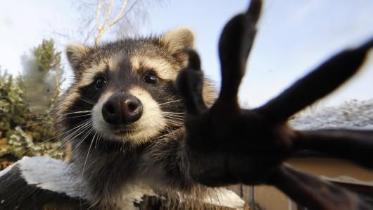 Ein Waschbärweibchen im Braunschweiger Zoo. (Archivbild) Mit dem Ende der Schonzeit dürfen Waschbären ab dem am 16.Juli in freier Natur wieder geschossen werden.