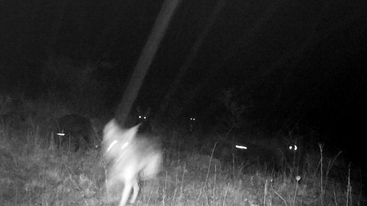Die Bilder einer Fotofalle  zeigen sechs junge Wolfsmischlinge auf einem Truppenübungsplatz in Ohrdruf (Thüringen).