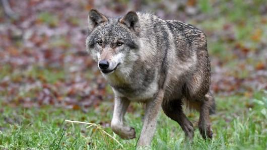 In Niedersachsen soll es laut Expertenschätzung 15 Wolfsrudel geben (Symbolbild).