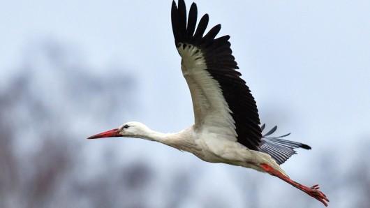 Ein Storch ist gegen die Windschutzscheibe eines Autos geprallt (Symbolbild).
