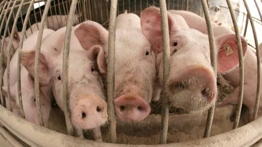Dicht gedrängt stehen Schweine im Stall eines Mastbetriebes. (Archivbild)
