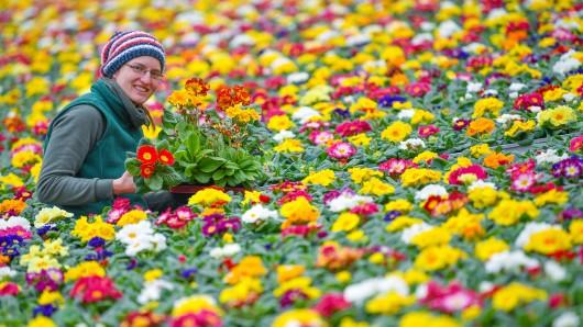 Eine Gärtnerin zeigt die blühenden Primeln.