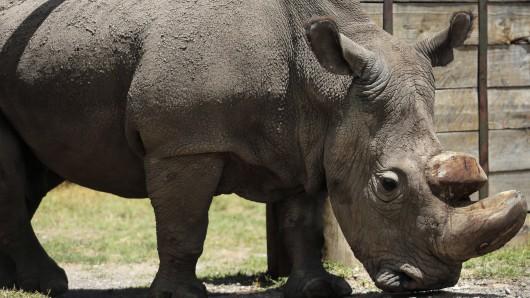Sudan steht im Wildtierreservat Ol Pejeta. Jetzt musste das Nördliche Breitmaulnashorn eingeschläfert werden.
