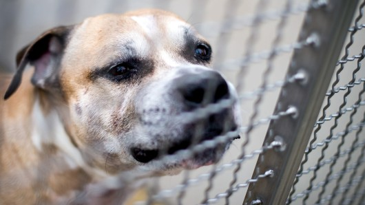 """09.04.2018, Niedersachsen, Langenhagen: Der Staffordshire-Terrier-Mischling """"Chico"""" steht in einem Gehege im Tierheim Hannover. Der Hund soll seine 27 und 52 Jahre alten Besitzer in ihrer Wohnung in einem Mehrfamilienhaus getötet haben. Foto: Hauke-Christian Dittrich/dpa +++ dpa-Bildfunk +++"""