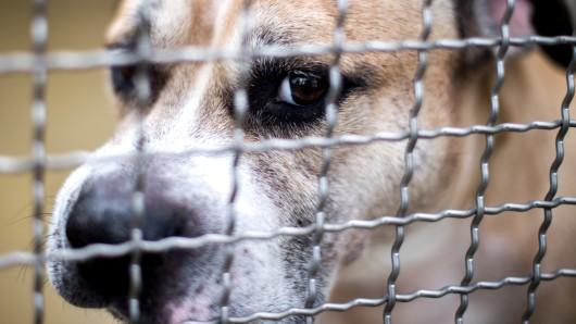 Der Staffordshire-Terrier-Mischling Chico steht in einem Gehege im Tierheim Hannover.