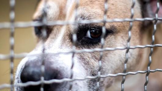 Staffordshire-Terrier-Mischling Chico im Tierheim Hannover.