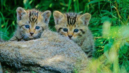Süß sind sie ja: Junge Wildkätzchen im Wald (Archivbild).