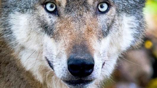 Der Mann hatte behauptet, von einem Wolf in die Hand gebissen worden zu sein (Archivbild).