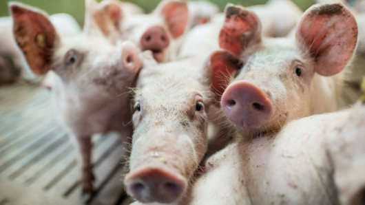 Die Auflagen für Schweinemast-Betriebe werden immer strenger. (Symbolfoto)